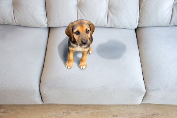 Couch pet stains removal Melbourne